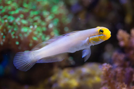 Blueband goby (Valenciennea strigata). Sea life. Stock Photo