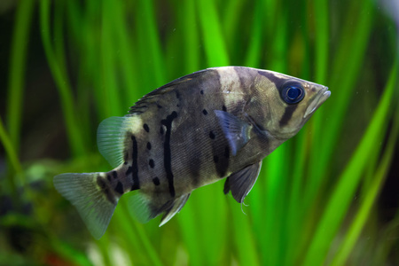 indo: Indonesian tigerfish (Datnioides microlepis), also known as the Indonesian tiger datnoid. Wildlife animal. Stock Photo