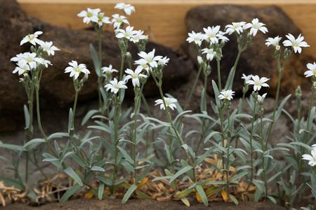 cerastium tomentosum: Snow-in-summer (Cerastium tomentosum). Flowering plant.