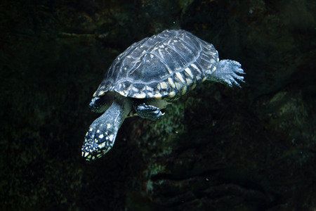 Black pond turtle (Geoclemys hamiltonii), also known as the Indian spotted turtle. Wildlife animal. Stock Photo