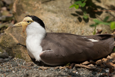 spur winged: Masked lapwing (Vanellus miles miles), also known as the masked plover. Wildlife animal. Stock Photo