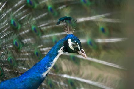 common peafowl: Indian peafowl (Pavo cristatus), also known as the blue peafowl. Wildlife bird. Stock Photo