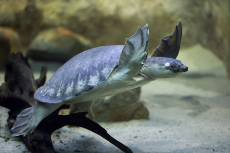 Pig-nosed turtle (Carettochelys insculpta), also known as the Fly River turtle. Wildlife animal. Stock Photo