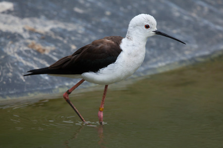 himantopus: Black-winged stilt (Himantopus himantopus), also known as the pied stilt. Wildlife animal.