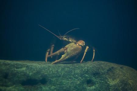 noble: European crayfish (Astacus astacus), also known as the noble crayfish. Wildlife animal.