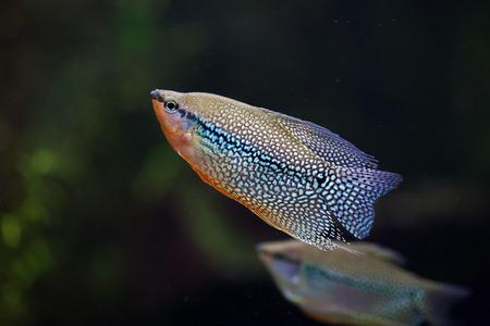 freshwater pearl: Pearl gourami (Trichopodus leerii), also known as the mosaic gourami. Wildlife animal.