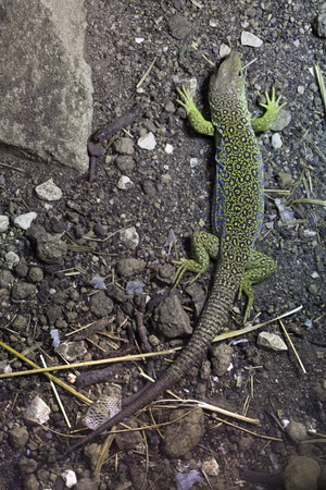 lacerta: Ocellated lizard (Timon lepidus), also known as the jeweled lacerta. Wildlife animal.