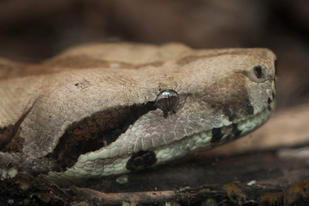 Boa constrictor (Boa constrictor), also known as the red-tailed boa. Wildlife animal.