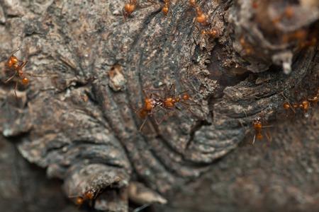 atta: Leafcutter ants (Atta sexdens). Wildlife animal.