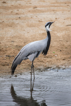 central european: Demoiselle crane (Anthropoides virgo), also known as the blue crane. Wildlife animal.
