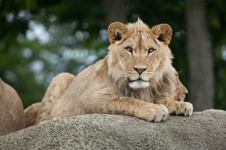 Juvenile male lion (Panthera leo). Wildlife animal.