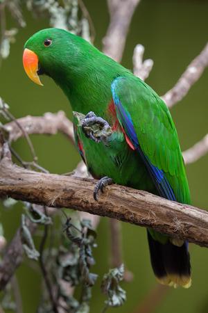eclectus roratus: Eclectus parrot (Eclectus roratus). Wildlife animal.