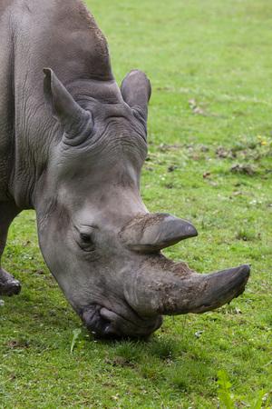 Southern white rhinoceros (Ceratotherium simum simum). Wildlife animal. Stock Photo