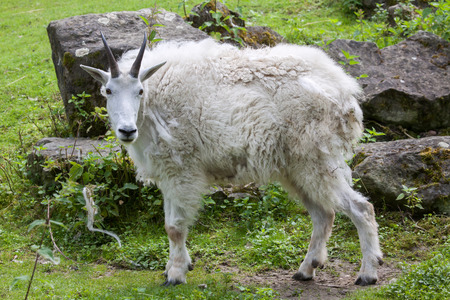 cascade range: Mountain goat (Oreamnos americanus), also known as the Rocky Mountain goat. Wildlife animal.
