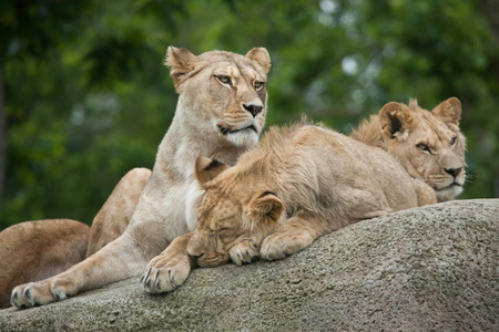 savannas: Lioness with two juvenile male lions (Panthera leo). Wildlife animal.