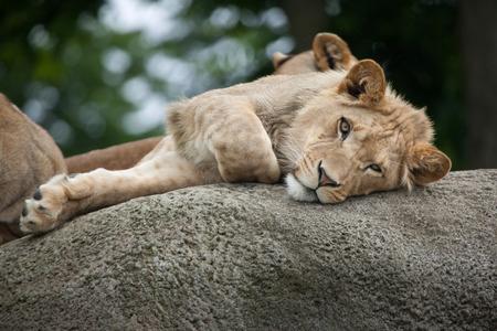 savannas: Juvenile male lion (Panthera leo). Wildlife animal.