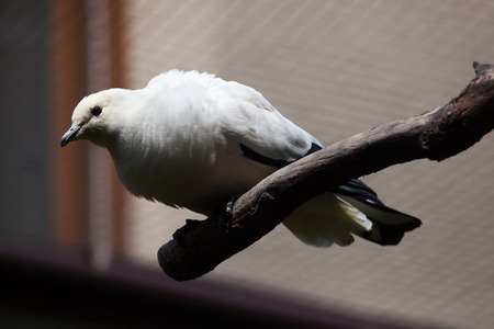 pied: Pied imperial pigeon (Ducula bicolor). Wildlife animal. Stock Photo