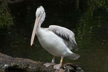 Dalmatian pelican (Pelecanus crispus). Wildlife animal.