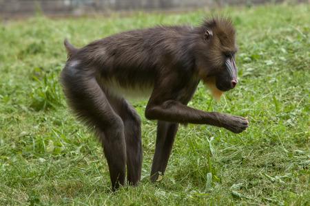 esfinge: Mandrill (esfinge Mandrillus). Animales de la fauna.