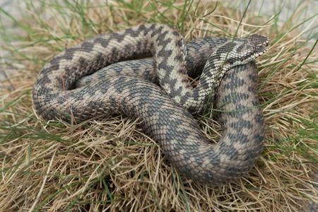 serpentes: European viper (Vipera berus), also known as the European adder. Wildlife animal.