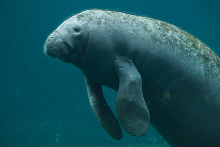 Antillean manatee (Trichechus manatus manatus). Wildlife animal. Stock Photo