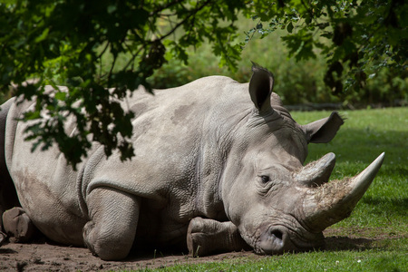 Southern white rhinoceros (Ceratotherium simum simum). Wildlife animal. Stock Photo
