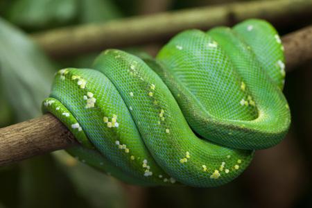 pythons: Green tree python (Morelia viridis). Wildlife animal.