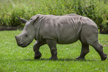 Southern white rhinoceros (Ceratotherium simum simum). Little rhino. Wildlife animal.