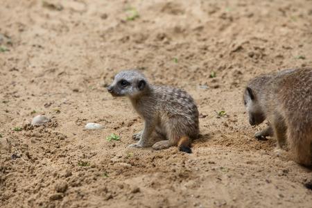 suricatta: Meerkat (Suricata suricatta), also known as the suricate. Newborn meerkat. Wildlife animal. Stock Photo