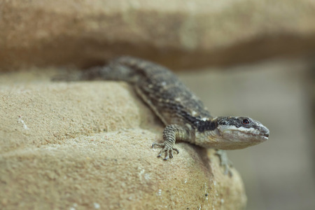 East African spiny-tailed lizard (Cordylus tropidosternum), also known as the dwarf sungazer. Wildlife animal. Stock Photo