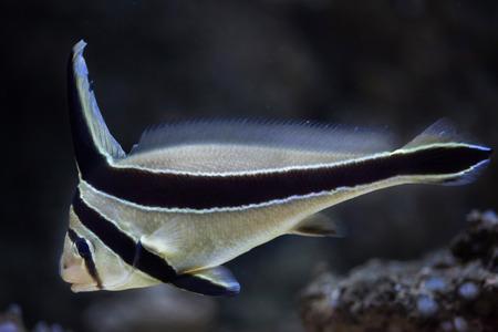 lanceolatus: Jack-knifefish (Equetus lanceolatus). Marine fish. Stock Photo