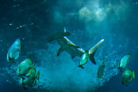 platax: Scalloped hammerhead (Sphyrna lewini) and orbicular batfishes (Platax orbicularis). Stock Photo