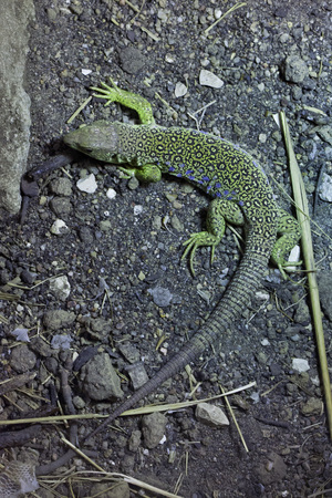 lacertidae: Ocellated lizard (Timon lepidus), also known as the jeweled lacerta. Wildlife animal.