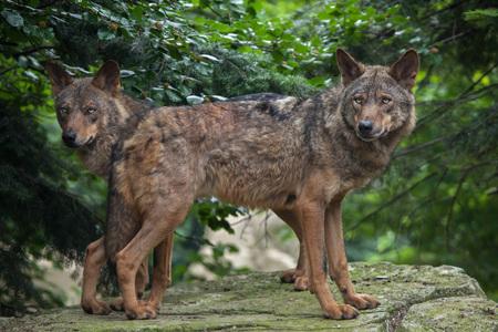 canid: Iberian wolf (Canis lupus signatus). Wildlife animal.