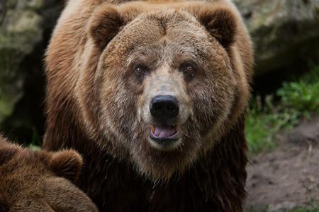 Mainland grizzly (Ursus arctos horribilis). Wildlife animal. Stock Photo