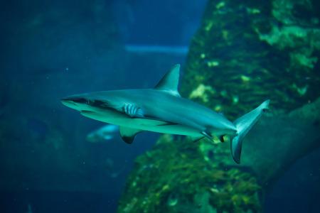 Grey reef shark (Carcharhinus amblyrhynchus). Stock Photo