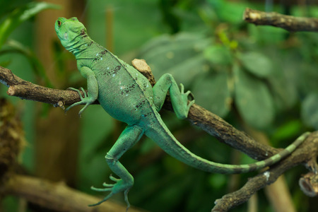 Plumed basilisk (Basiliscus plumifrons), also known as the green basilisk. Female basilisk. Wildlife animal.