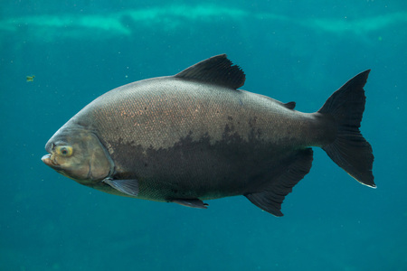pacu: Tambaqui (Colossoma macropomum), also known as the giant pacu. Wildlife animal.