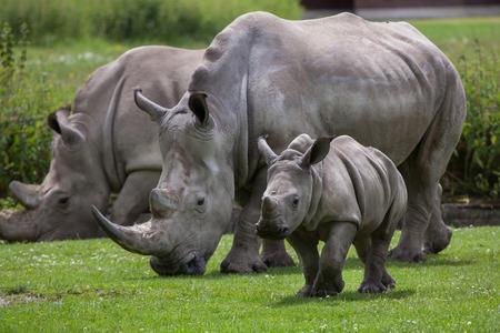 zimbabwe: rinoceronte blanco (Ceratotherium simum simum). hembra de rinoceronte con su bebé recién nacido. Animal de la fauna.