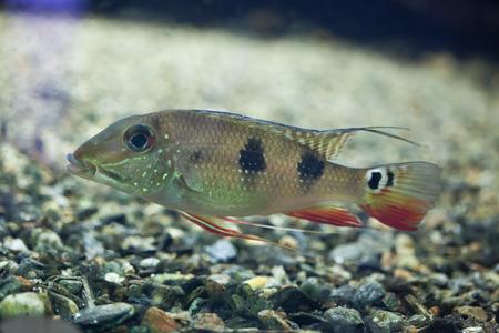 cichlidae: Threespot eartheater (Satanoperca daemon), also known as the spotted demonfish. Wildlife animal.