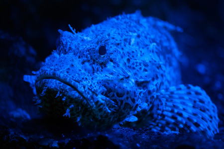 scorpionfish: Red scorpionfish (Scorpaena scrofa), also known as the bigscale scorpionfish.