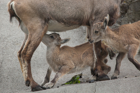 bovid: Alpine ibex (Capra ibex ibex), also known as the steinbock or bouquetin. Female ibex feeding its calf. Wildlife animal. Stock Photo