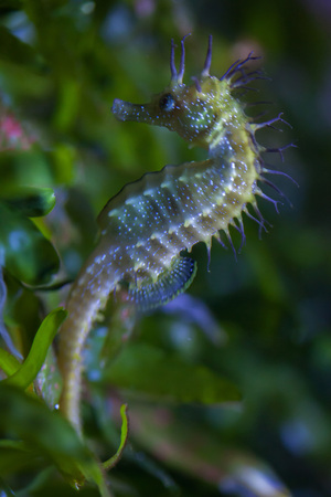 hippocampus: Long-snouted seahorse (Hippocampus guttulatus). Sea animal.