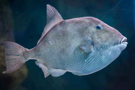 trigger fish: Grey triggerfish (Balistes capriscus). Marine fish.