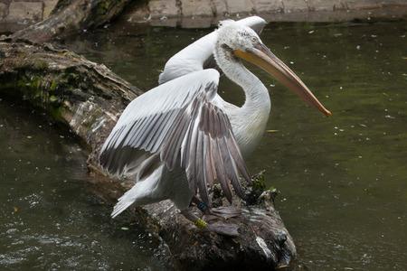 pelecanus: Dalmatian pelican (Pelecanus crispus). Wildlife animal.