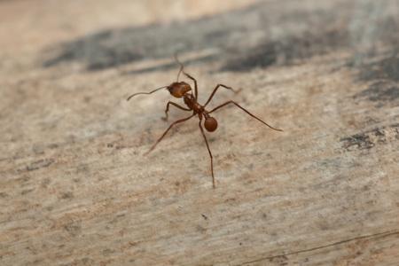 leaf cutter: Leafcutter ant (Atta sexdens). Wildlife animal.