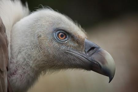 gyps: Griffon vulture (Gyps fulvus). Wildlife animal. Stock Photo