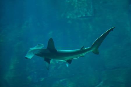 pez martillo: tiburón martillo (Sphyrna lewini). Pescado marino. Foto de archivo