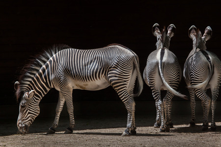 Grevy zebra (Equus grevyi), also known as the imperial zebra. Wildlife animal.