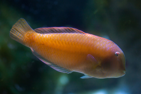cleaver: Pearly razorfish (Xyrichtys novacula), also known as the cleaver wrasse.
